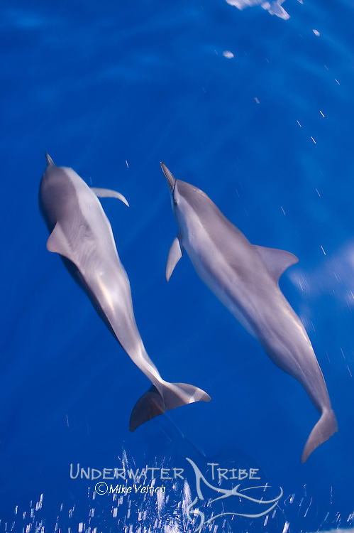 Two Spinner Dolphins, Stenella longirostris, riding a bow wave, Yap, Micronesia, Pacific Ocean
