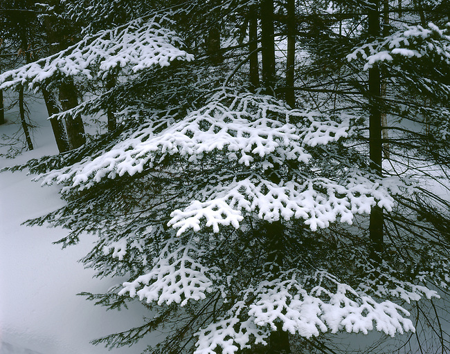 Hemlocks and the trees in the canyon of Wagner Falls show off a fresh coat of snow, Wagner Falls State Scenic Area, Alger County, Michigan.