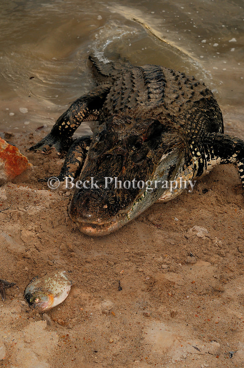 Caiman, reptile in the Agua Boa River in the Amazon