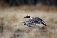 Pintail Duck, Bosque del Apache NWR