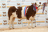 English Premier Show & Sale March 2019 <br /> Newark Livestock Market. <br /> Lot 19 Female Champion Midhope I am The Best owned by W J Hollingsworth sold for 4300gns<br /> ©Tim Scrivener Photographer 07850 303986<br />      ....Covering Agriculture In The UK....