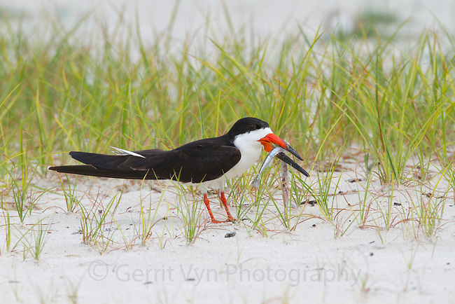Adult Black Skimmer (Rynchops niger) with needlefish prey. Harrison County, Mississippi. July.
