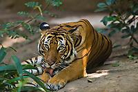 Tiger washing paw.