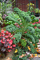 Winterbor Kale vegetable ornament with Begonia wax in flower bed mixed in autujmn with fallen leaves on ground