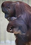 Foto: VidiPhoto<br /> <br /> RHENEN - Na een draagtijd van ruim acht maanden heeft orang oetan Tjintha in Ouwehands Dierenpark in Rhenen zondag een jong gekregen. Het nieuws is dinsdag bekend gemaakt. Moeder en jong maken het goed. Het geslacht van het jong is nog niet bekend. Op dit moment verblijft Tjintha met haar jong in een binnenverblijf, gescheiden van de rest van de groep. In Ouwehands Dierenpark verblijven acht orang oetans. Bako is de man van de groep, hij is tevens de vader van het jong. Verder bestaat de groep uit nog twee volwassen vrouwen, een volwassen man en twee jongen. De orang oetans in Ouwehands Dierenpark maken deel uit van het fokprogramma voor bedreigde diersoorten, het Europese Endangered Species Programma (EEP). Door middel van fokprogramma's houden we diersoorten in dierentuinen in stand. De orang oetan wordt in het wild in zijn voortbestaan bedreigd. Zijn leefgebied wordt sterk aangetast als gevolg van houtkap ten behoeve van palmolieteelt. Daarnaast worden orang oetans nog steeds gevangen om als huisdier gehouden te worden.