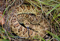 467090001 mohave rattlesnake crotalus scutulatus lays coiled in dead grasses at empire cienega natiional conservation area cochise county arizona
