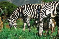 Zebras at Honolulu Zoo in Waikiki