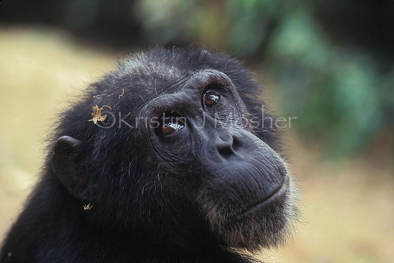 Goblin, a wizard of chimp politics.Gombe Stream National Park, Tanzania.Male Eastern Chimpanzee (Pan troglodtyes schweinfurthii)