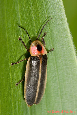 0109-0906  Lightning Bug (Fire fly or Firefly), Photinus spp. © David Kuhn/Dwight Kuhn Photography.