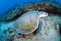 Kemp's Ridley Sea Turtle, (Lepidochelys kempii), in photographed underwater in northern Palm Beach, Florida. The Kemp's is the world's rarest sea turtle with approximately only 1,500 adult females left worldwide. IUCN Red List; Endangered.