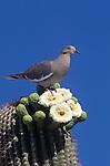 White-winged Dove (Zenaida asiatica) Arizona, USA.