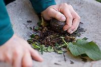 Gewöhnlicher Beinwell, Symphytum officinale, Wurzeln und Blätter einer kleingeschnittenen Pflanze werden in Mörser zerrieben, Common Comfrey, Consoude officinale