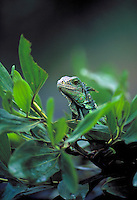 Green Iguana in Panama rainforest. Panama.