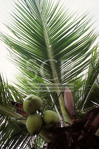 Brazil. Coconuts growing on a coconut palm tree (Cocos nucifera).