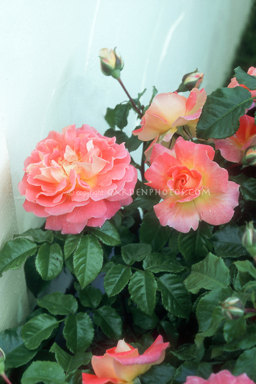 Rosa U0027Designer Sunsetu0027 Patio Rose, Pink And Yellow Roses With White Wall,