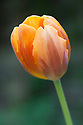 Tulipa 'Prinses Irene' is orange with purple flames, and is a Triumph Group tulip first introduced in 1949.