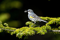 yellow-rumped warbler, Setophaga coronata, female on tree in spring, Nova Scotia, Canada