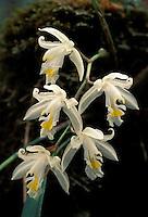 Epiphytic Orchid;  Eria; Indonesia, Borneo, W. Kalimantan, Bentuang-Karimun National Park