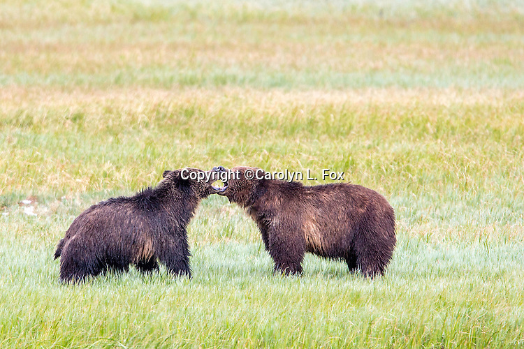 Two grizzly bears play fight in Yellowstone National Park.