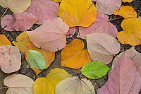 Fallen Katsura leaves, Washington