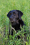 Black Labrador retriever (AKC) sitting in field.  Summer.  Winter, WI.