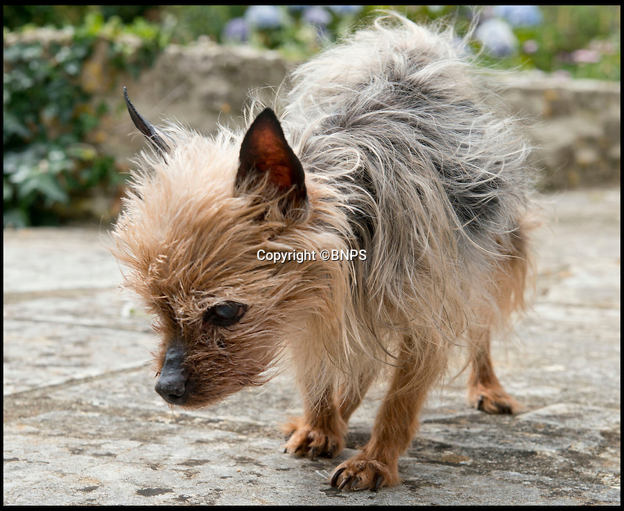 BNPS.co.uk (01202 558833)<br /> Pic: LauraDale/BNPS<br /> <br /> Pebbles (16), who was rescued on Sunday night after falling off a cliff face at the end of her garden.<br /> <br /> A tiny pet dog that was chased over a 60ft cliff by deer survived after falling into thick brambles that cushioned her fall.<br /> <br /> Pebbles, a miniature Yorkshire terrier, plunged over the edge of the precipice and fell 60ft down a sheer drop before disappearing in thick undergrowth and bramble bushes at the bottom.<br /> <br /> Her owners, Rob and Lynne Cox, called the coastguards to their cliff-top home in Weymouth, Dorset, and Pebbles was rescued in one piece.