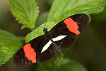 La Guacima de Alajuela, Costa Rica; an Erato Heliconian (Heliconius erato) butterfly sits wings spread on a leaf , Copyright © Matthew Meier, matthewmeierphoto.com All Rights Reserved