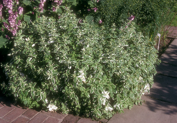 Variegated Pineapple Mint, herb Mentha suaveloens 'Variegata' showing plant habit in garden use