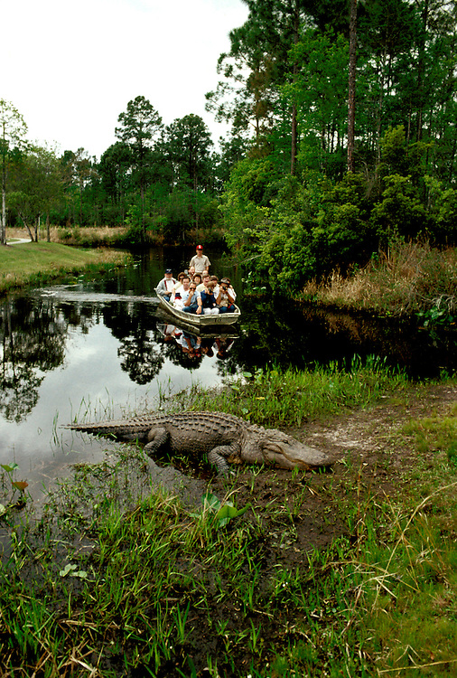 Georgia: Nature tour at Okefenokee Swamp, alligator.  Photo #: gacoas103..Photo copyright Lee Foster, 510/549-2202, lee@fostertravel.com, www.fostertravel.com