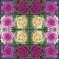 Ornamental, decorative cabbage plants in mosaiic design processed with an iPhone