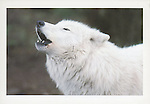 Arctic wolf<br />
