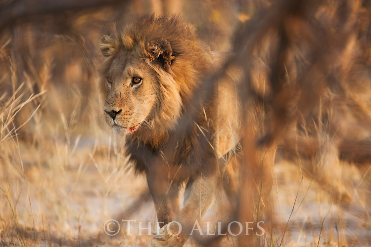 Botswana, Okavango Delta, Moremi Game Reserve,  male lion (Panthera leo) walking in forest