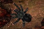 Tarantula Spider, Irridescent Pink Toed, Avicularia metallica, Surinam, on tree log.South America....