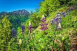 Reddish colored Nootka Lupine, Bird Ridge, Chugach State Park, Southcentral Alaska, Summer.