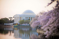 Jefferson Memorial Cherry Blossoms Tidal Basin Washington DC
