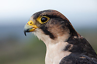 Lanner Falcon portrait (Falco biarmicus)..Shot under controlled conditions..October 2010..African Bird of Prey Sanctuary..Kwazulu-Natal, South Africa.