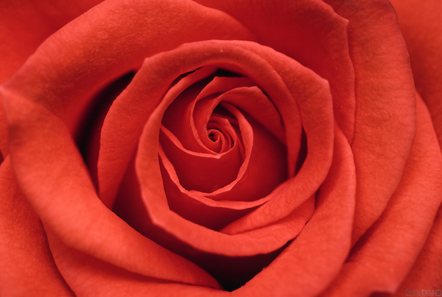 Detail of a red rose