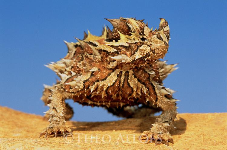 Thorny devil on sand dune; Australia, Western Australia
