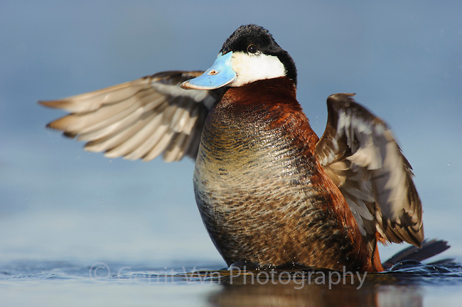 Adult male Ruddy Duck (Oxyura jamaicensis) in breeding plumage wing stretching. Alberta, Canada. May.