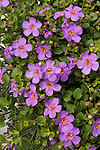 SUTERA CORDATA 'SCOPIA GREAT VIOLET MAGIC', BACOPA