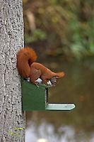 Eichhörnchen holt sich Futter aus einem Futterkasten, Fütterung, füttern, Sciurus vulgaris, Red squirrel, Écureuil d´Europe