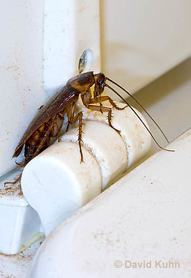 0113-0904  American cockroach on Dirty Toilet (hinge of toilet seat), Periplaneta americana  © David Kuhn/Dwight Kuhn Photography.