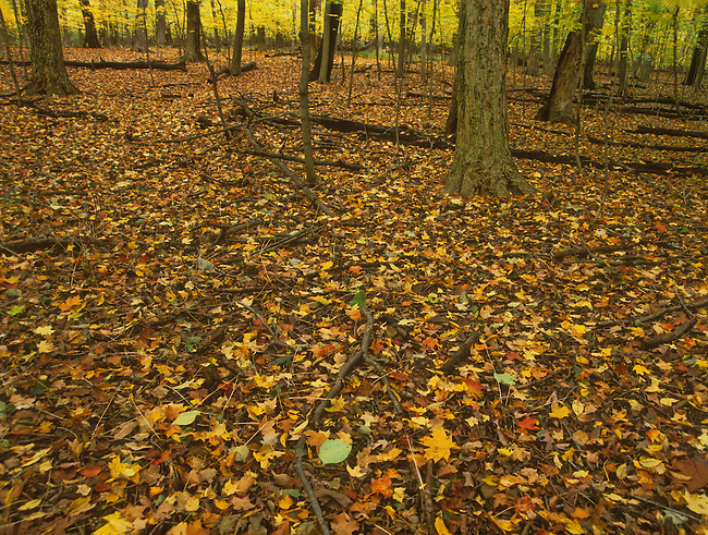 The forest floor turns brown with autumn leaves and tree trunks with the gold understory giving the scene a glow, Racoon Grove Forest Preserve, Will County, Illinois