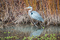 Blue Herron at Bosque del Apache National Wildlife Refuge in New Mexico.