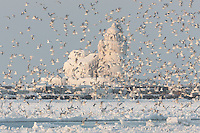 Seagulls surround the Ice Covered Cleveland Harbor West Pierhead Light.  The lighthouse was encased in ice by crashing waves in frigid air temperatures during mid-December.