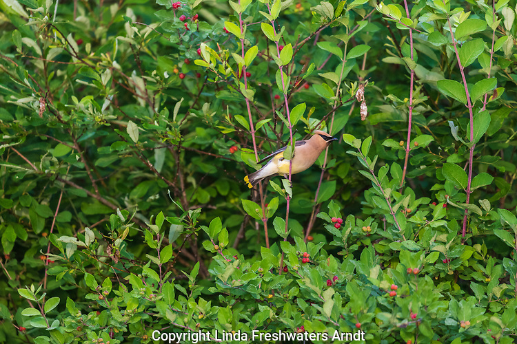 Cedar waxwing feeding in a Morrow's honeysuckle bush.
