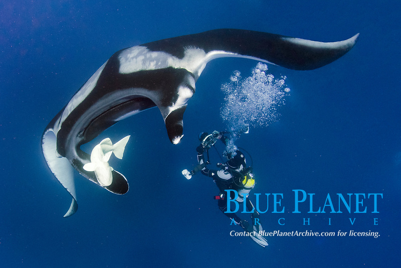 giant oceanic manta ray, Mobula birostris, formerly Manta birostris, at the Boiler, San Benedicto Island, Socorro, Revillagigedo Islands, or Revillagigedo Archipelago, Mexico, Pacific Ocean