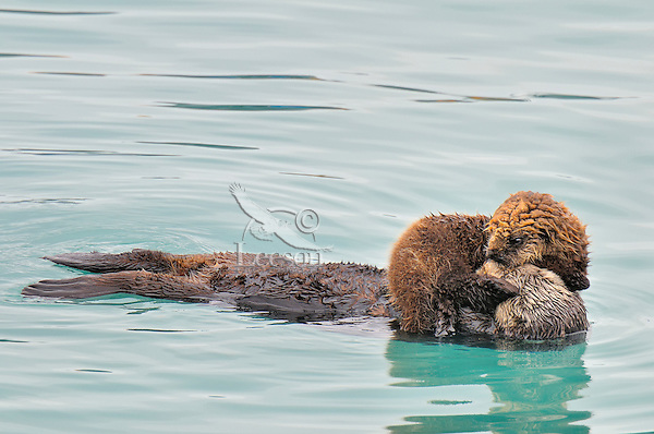 Alaskan or Northern Sea Otter (Enhydra lutris) mother and baby/pup resting.