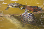 Yellow Bellied Slider Turtles