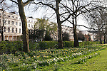 A row of trees and field of daffodils on a bright, sunny spring day in Regent's Park, London, England